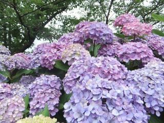 紫陽花祭り 013.jpg